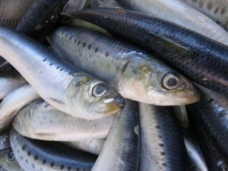 いまや、高級魚になってしまったイワシ(鰯)。なぜ高級魚の仲間入りをしてしまったのでしょう?