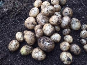 今まで最高品質の、ジャガイモが収穫できました。その理由を検証してみます。