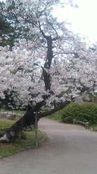 桜がとても綺麗です。