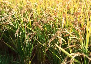 第五回 はりまんま(稲刈りの収穫体験)