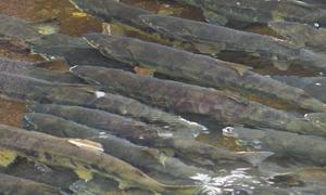 日本の鮭は、美味しいだけではなく、健康面でも優秀な秘密がありました。