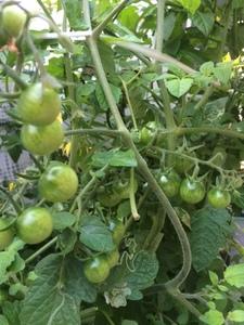 自作の水耕栽培器で、プチトマトを育てる実験をしています。