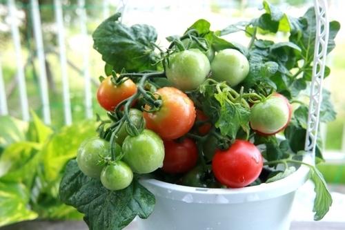 日本では、一番最初、『トマト』と呼んでいなかったとは知りませんでした。