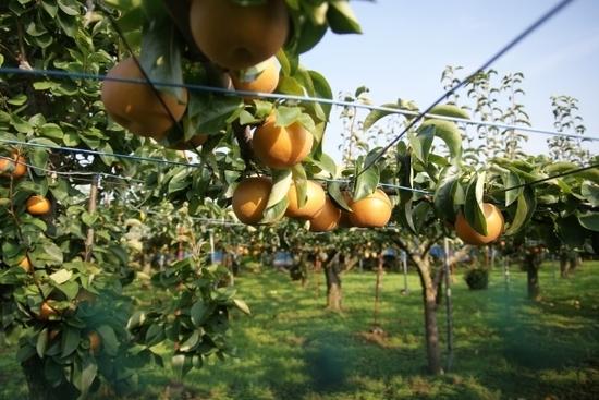 日本では、大昔から梨(なし)を食べていたという事実。日本書紀に記録されていた!