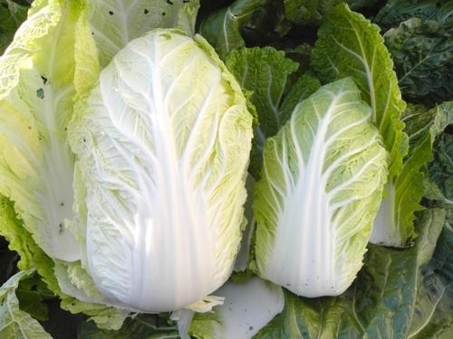 白菜の歴史から、美味しい保存方法まで